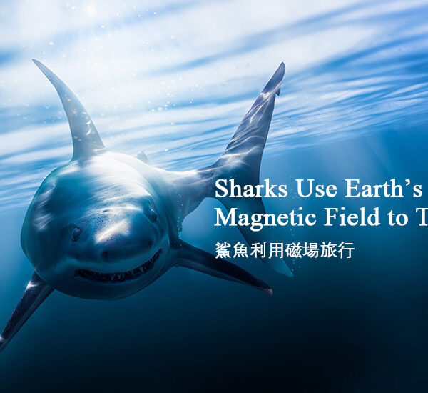 新聞英文:鯊魚利用磁場旅行